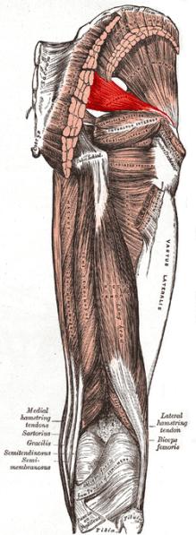 250px-Piriformis_muscle