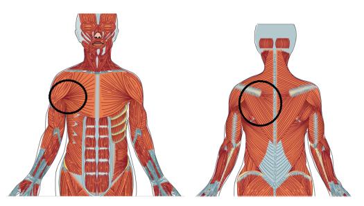 Muskler rygg och bröst problemområden